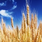 golden wheat against a blue sky